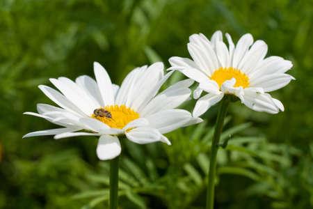 daisy flower on field background. Stock Photo