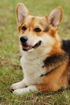 favourites: Portrait of beautiful dog . Cardigan Welsh Corgi .
