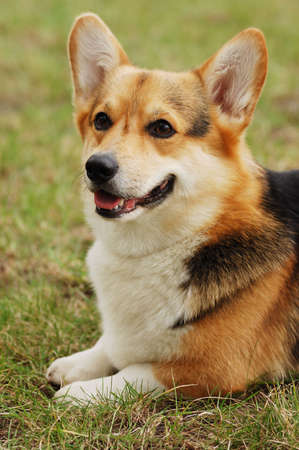 Portrait of beautiful dog . Cardigan Welsh Corgi .