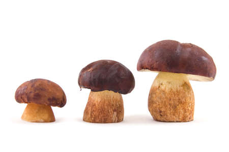 mushroom picking: Three mushrooms placed on growth isolated on a white background Stock Photo