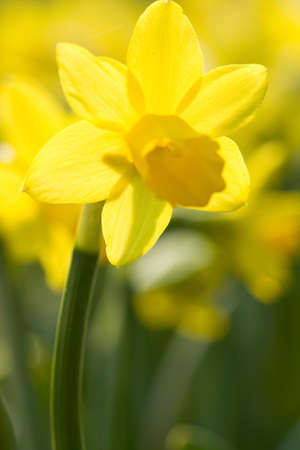 yellow narcissus on a green grass Stock Photo