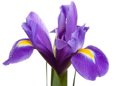 iris fiore: fiore di iride con gocce su isolato