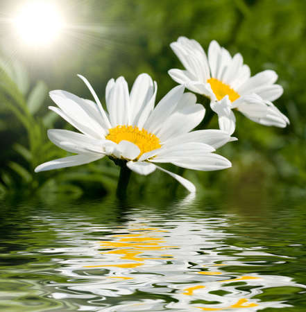beautiful daisy on a green background