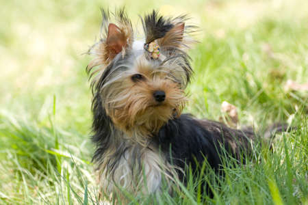 yorkshire terrier on the green grass photo