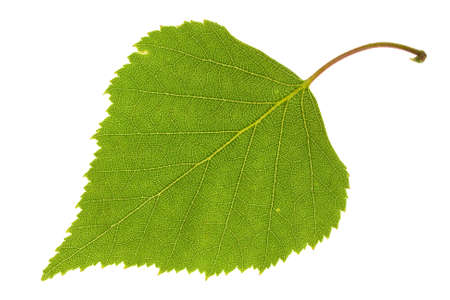 Birch leaf isolated on the white Stockfoto