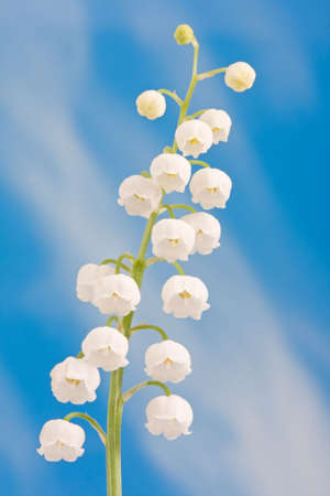 lily of the valley: Lily of the valley on a blue sky