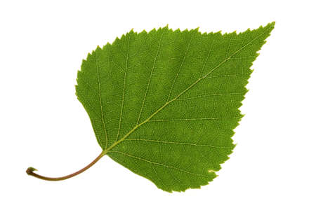 Birch leaf isolated on the white Stock Photo