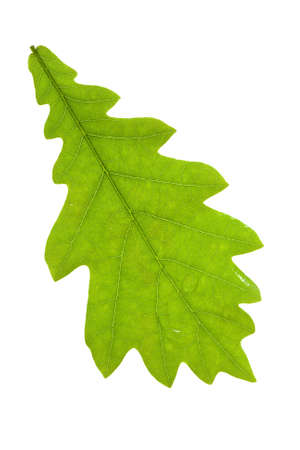 Oak leaf isolated on the white