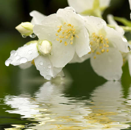 Flower of jasmin with dew drops Stock Photo