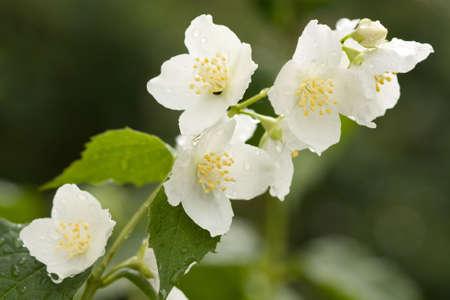 jasmine bush: Flower  jasmine with dew drops . Stock Photo