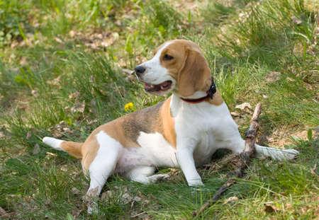 portrait of beautiful Beagle dog Stock Photo - 5077387