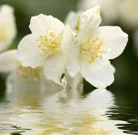jasmine bush: jasmine with dew drops