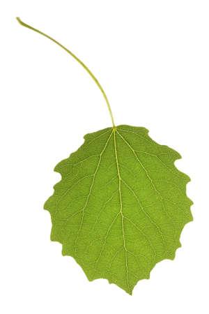aspen leaf: Aspen leaf isolated on the white