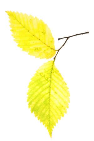hazel tree: Autumn leaf of hazel tree isolated on white