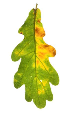 Liść dębu Jesień w izolacji. Zdjęcie Seryjne - 5415161