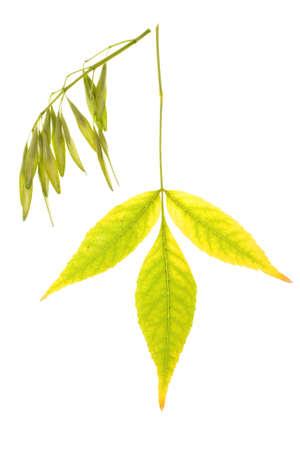 ash tree: Foglia Ash albero isolato sul bianco