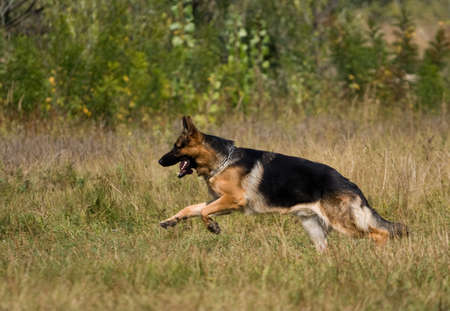 german shepherd on the grass: sheepdog runing on a meadow