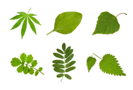 Medical collection leaves ( hemp,  plantain, birch,celandine ,rowanberry, nettle) on isolated Stockfoto