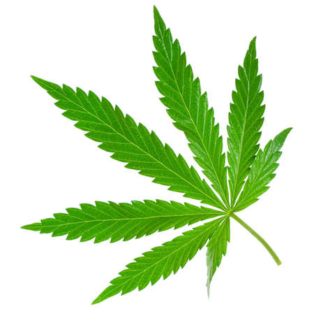 marijuana leaf isolated on white Foto de archivo