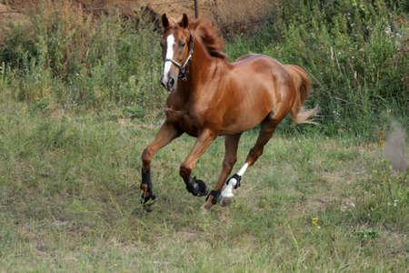 Running horse on a grass Foto de archivo