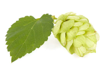 Hops isolated on the white.   photo