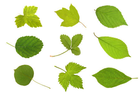 Fruit leaves ( currant, viburnum, blackberry ,mulberry, strawberry, cherry, pear, raspberry and plum ) on isolated photo
