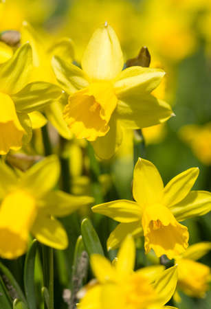 daffodils: yellow narcissus on a green grass Stock Photo