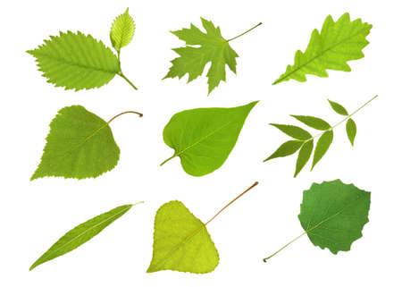Collection  leaves alder, maple, oak, birch,  lilac, ash tree,  willow,  poplar and aspen Foto de archivo