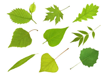 Collection  leaves alder, maple, oak, birch,  lilac, ash tree,  willow,  poplar and aspen Stock Photo