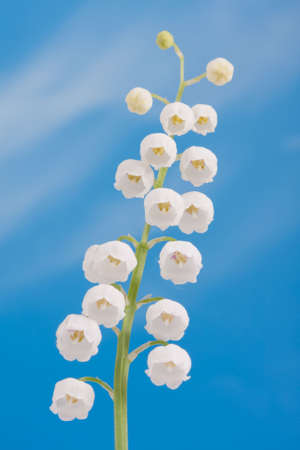 Lily of the valley on a blue sky  photo