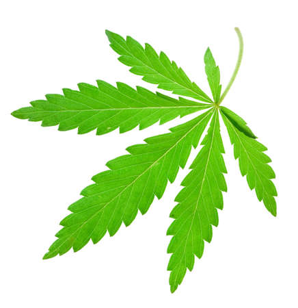 marijuana leaf on isolated Stock Photo - 6542280