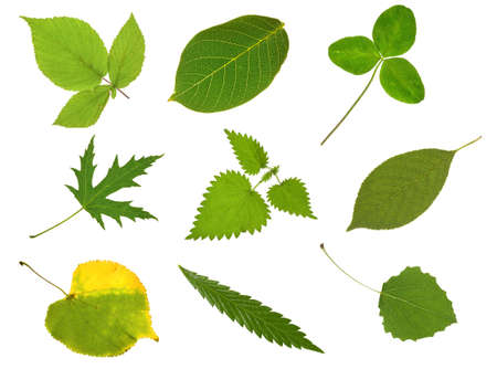 Collection leaves isolated on white Stock Photo - 6819480
