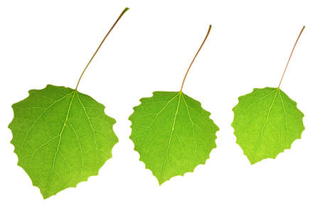 Three aspen leaves isolated on a white Stock Photo - 6996499