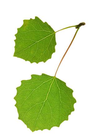 aspen leaf isolated on white