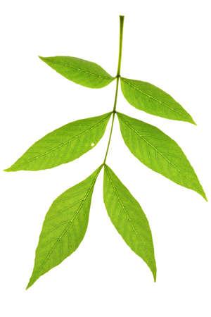 ash tree: Ash tree foglia isolato sul bianco