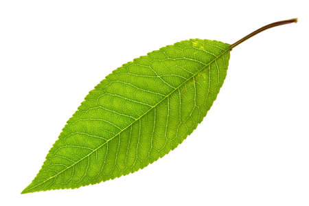 sweet cherry leaf isolated on white  Foto de archivo