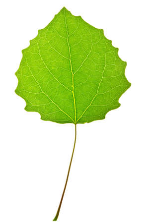 single object:  leaf of aspen on  isolated