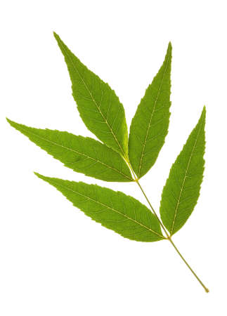 ash tree: Foglia di albero di cenere su isolato