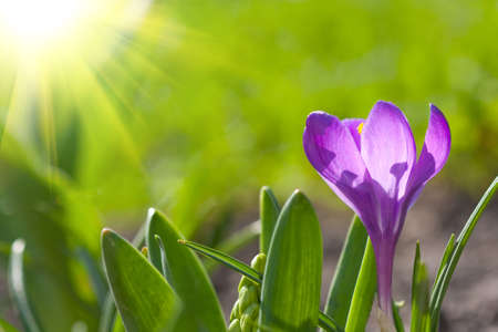 beautiful spring crocus Stock Photo - 8842170