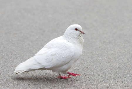 White pigeon on asphalt