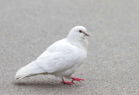 White pigeon on asphalt photo