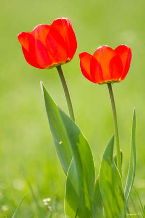 Red tulips on the green field photo