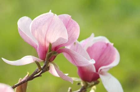 Blume der Magnolia-Struktur Standard-Bild