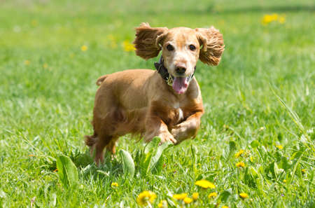 show dog: Cocker Spaniel runing on a green meadow