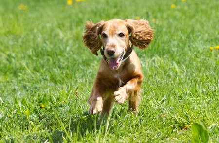 Cocker Spaniel runing on a green meadow