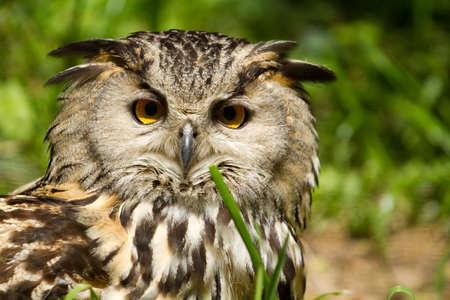 Portrait of eagle-owl (bubo bubo)  photo