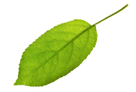 Apple leaf isolated on white  Foto de archivo