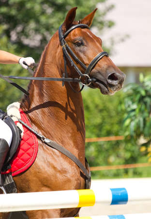 racehorse: equestrian show jumping
