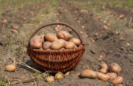potatoes harvesting in basket photo