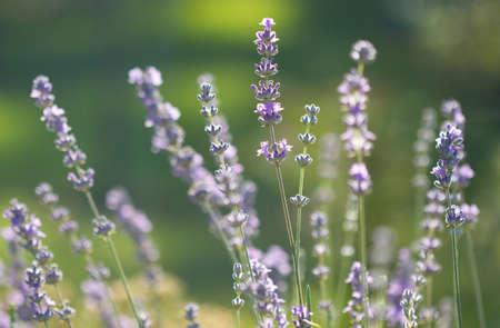 beautiful lavenders in a field photo
